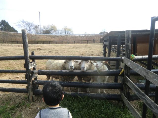 放牧羊のエサやり体験